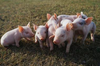 Lietuva EK prašo beveik 47 mln. litų kovai su afrikiniu kiaulių maru