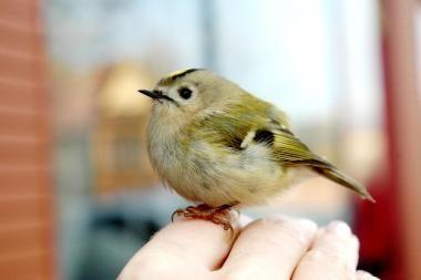 Pradėjus lesinti paukščius, būtina tą daryti kasdien