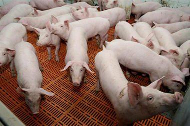 Dėl afrikinio maro apribojamas kiaulių eksportas į Rusiją
