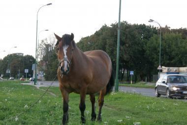 Arkliai Klaipėdoje – ne miražas