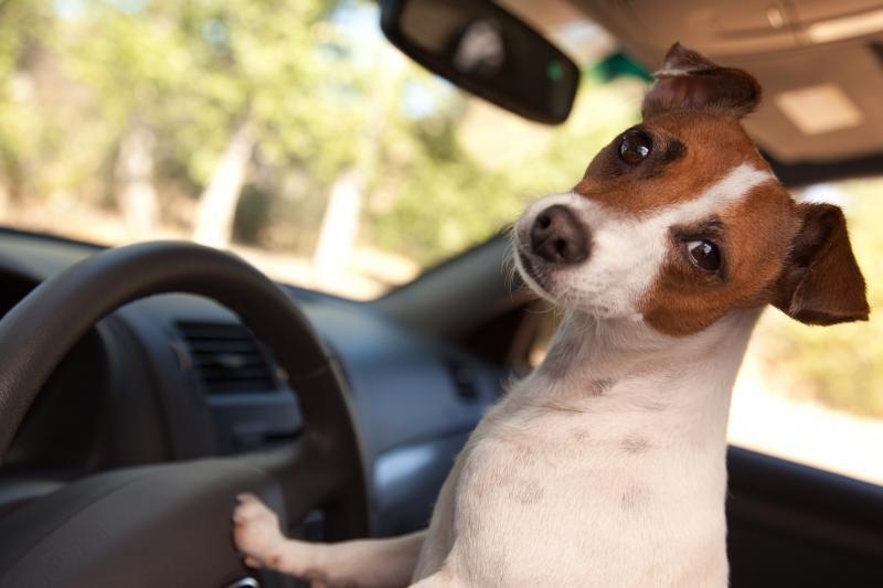 Naminiai gyvūnėliai padidina eismo įvykių riziką