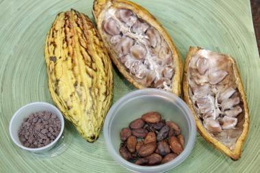 Kakavmedžio genomas išgelbės pramonę
