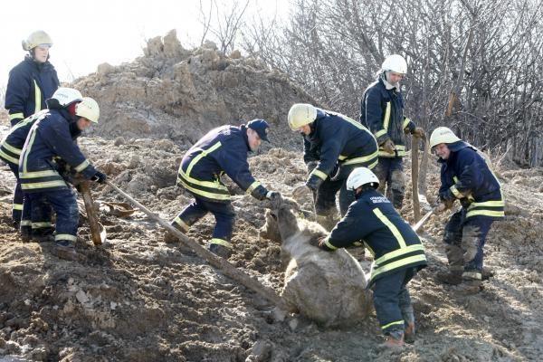 Klaipėdos pakraštyje gelbėtojai iš purvyno traukė telyčias