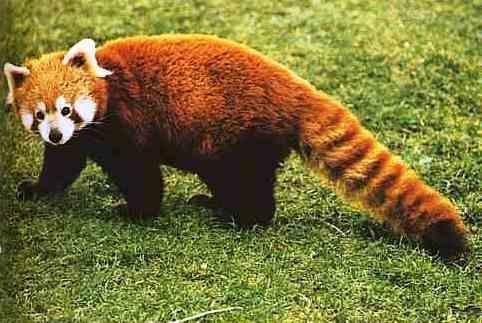 Kiek kartų mažoji panda gali persiversti kūlio per minutę?