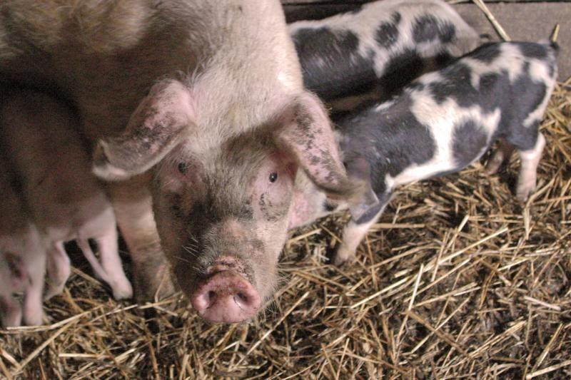 Lietuviai nesikiša į ES ir Rusijos kiaulių karą