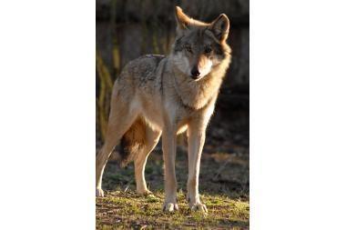 Prasideda vilkų medžioklės sezonas