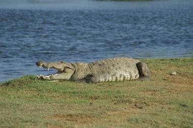Australijoje princo Williamo ir K.Middleton vardais pavadinti krokodilai