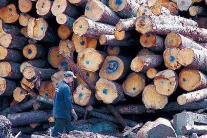 Medienos perdirbėjai užversti žaliava
