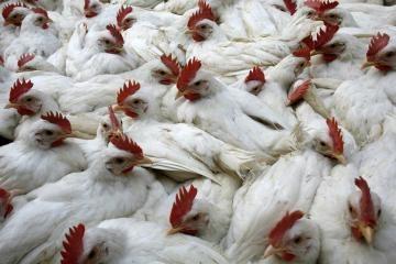 ES veterinarai nepritaria paukštienos importui iš JAV
