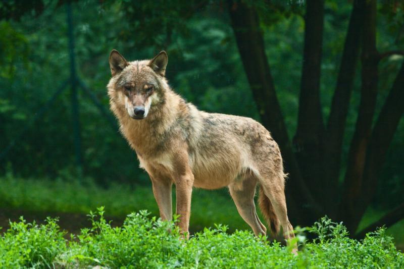 Šiemet vilkai sudraskė mažiausiai 105 naminius gyvūlius