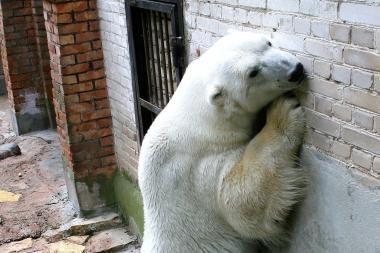 """""""Meškomanija"""" kviečia aukoti zoologijos sodo baltajam lokiui"""