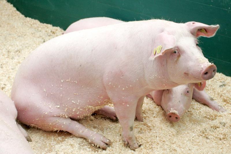 Kiaulių augintojams draudimų siena eksportui į Rusiją neįveikiama
