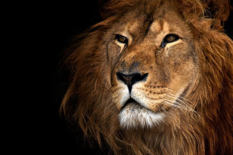 Nekasdienis įvykis mokslo pasaulyje: atrasta nauja liūtų rūšis
