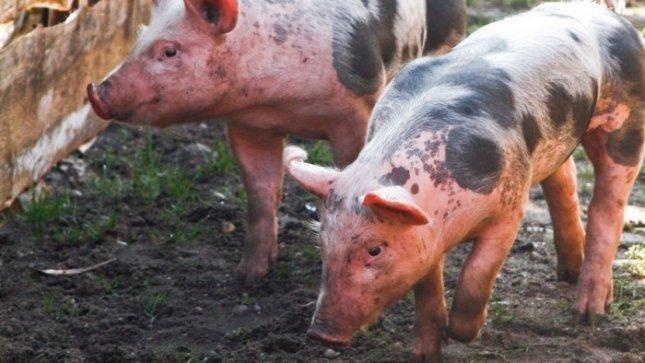 Apsaugai nuo kiaulių maro prašo dar 12 mln. litų