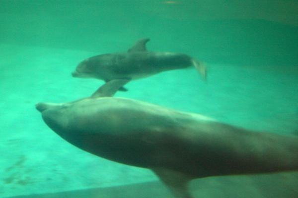 Jūrų muziejuje - delfinų jaunikliai (papildyta)
