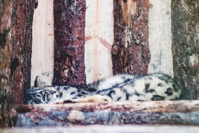 Žibutė turi draugę – snieginio leopardo patelę Sierko