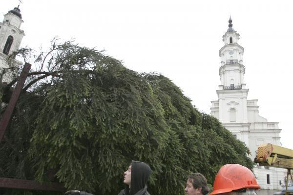Pagrindinė Kauno eglė iš Šilainių atvežta į Rotušės aikštę (papildyta)