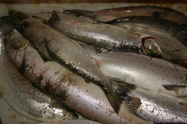 Išaiškintos nelegalia žvejyba užsiimančios bendrovės