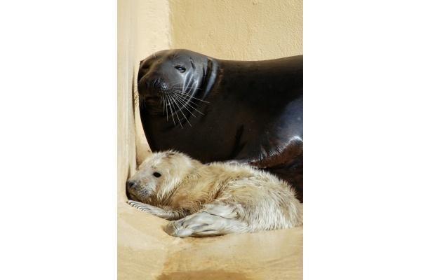 Jūrų muziejuje – dar vienas ruoniukas