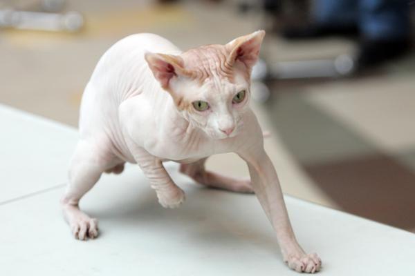 Tarptautinėje kačių parodoje triumfavo sfinksai