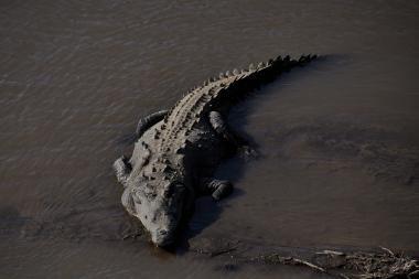 Krokodilai padės saugoti pelkes
