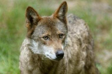 Lietuvoje leista sumedžioti 60 vilkų