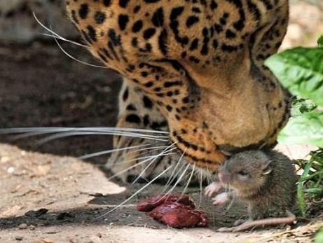 Drąsiausia pasaulio žiurkė apvogė leopardę