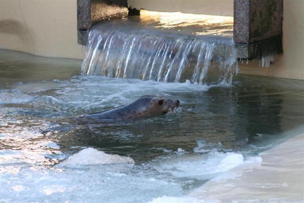 Jūrų muziejaus ruoniukas išgabentas į Serbiją
