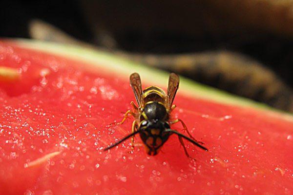 Musainiai ir kirmėletai: ar vabzdžiai tikrai maisto ateitis?