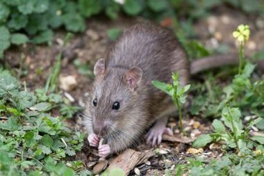 Lenkijos sostinę Varšuvą puola žiurkės