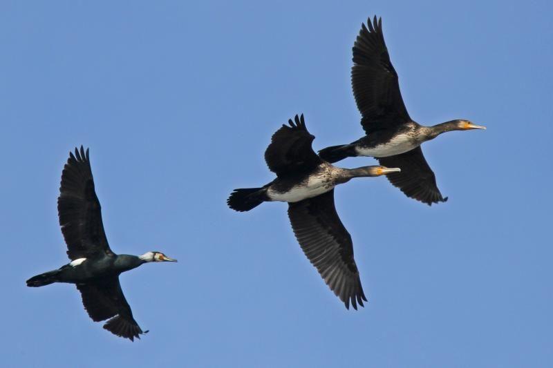 Kauniečių akis jau džiugina sugrįžę paukščiai