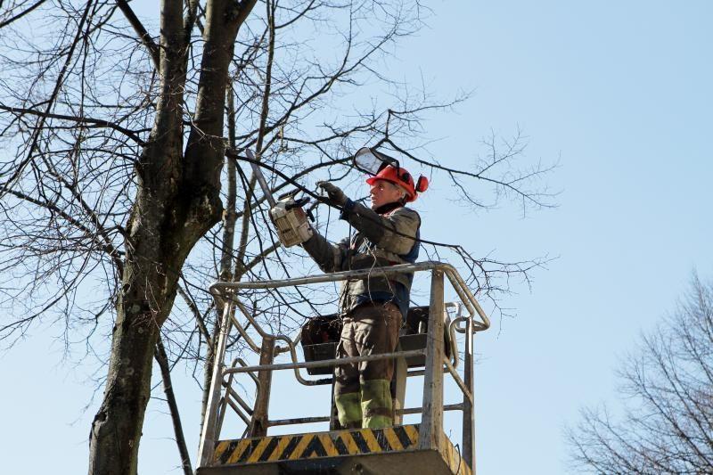 Klaipėdiečius papiktino medžių genėjimas mieste