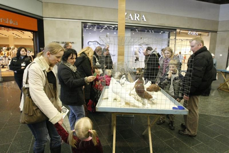 Klaipėdoje surengta dekoratyvinių balandžių paroda