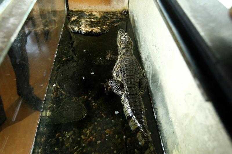 Viengungio bute gyvena aligatorius Gena, ėdantis tik strimėles