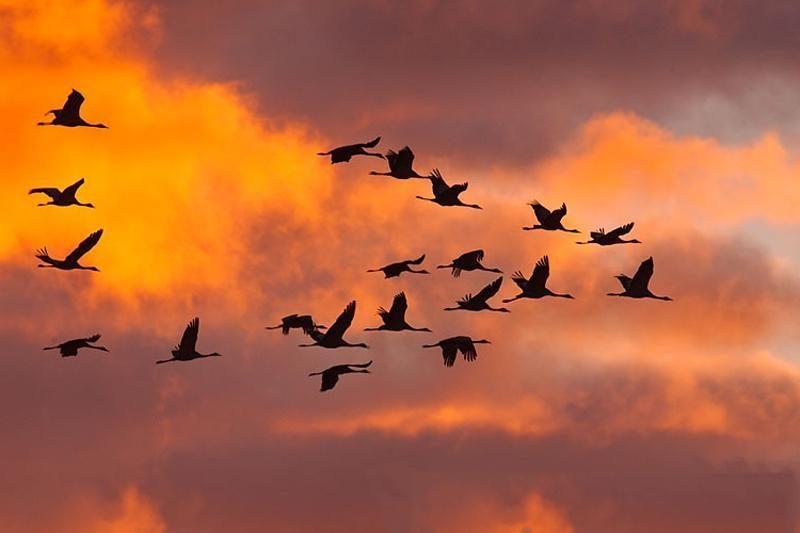 Migruojančių paukščių šiemet – mažiau nei įprasta