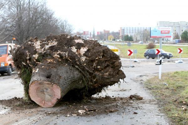 Kelininkai išraus medžius prie Plytinės kelio