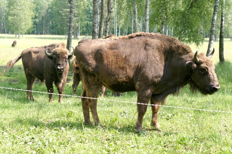 Stumbrai Lietuvoje – kaip karvės Indijoje