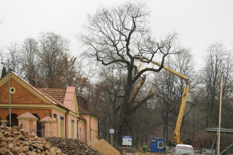 Užupiečiai pašiurpę: Sereikiškėse kapojamas seniausias miesto ąžuolas
