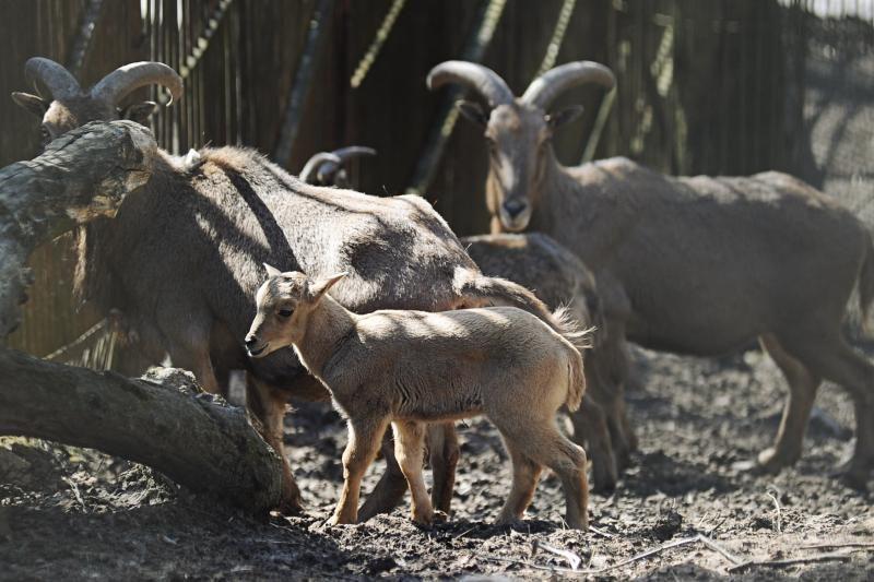 Zoologijos sodo lankytojai ruoš pietus ožiukams