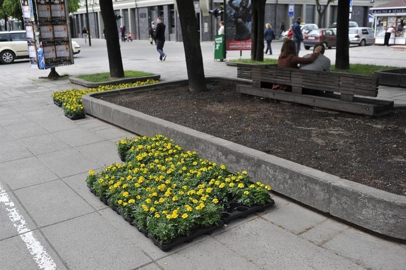 Laukdamas miesto šventės Kaunas puošiasi gėlėmis