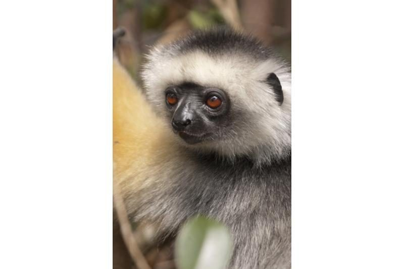 Madagaskaro lemūrai - ant išnykimo ribos