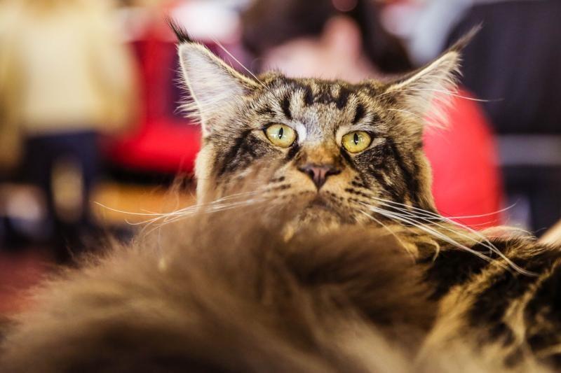 Beglobės katės ženkliukas - nukirptas ausies kamputis