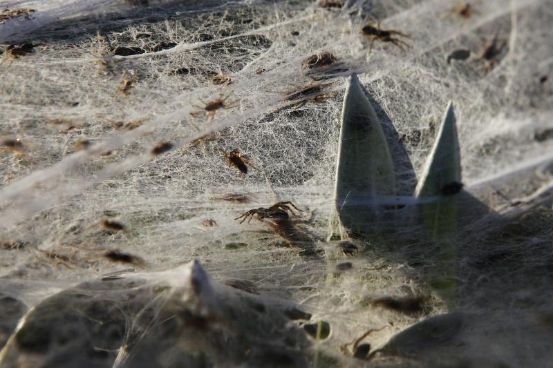 Potvynių užlietą Australiją apraizgė voratinkliai