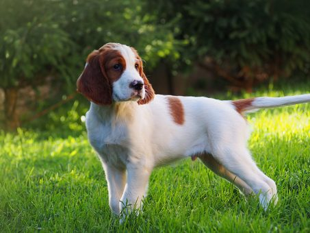 Skelbimas - Airių rudai baltas Airių seteris šuniukai (Irish Red and White Setter)