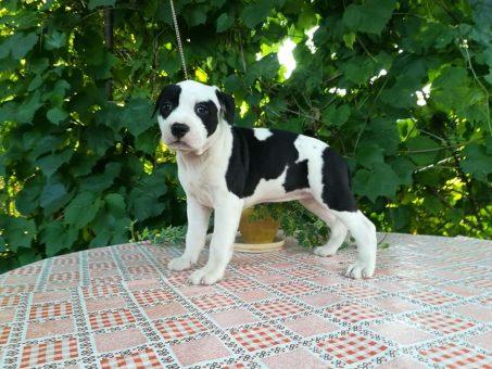 Skelbimas - Parduodami kilmingi Amerikos Stafordšyro Terjero (AMSTAFF) veislės šun