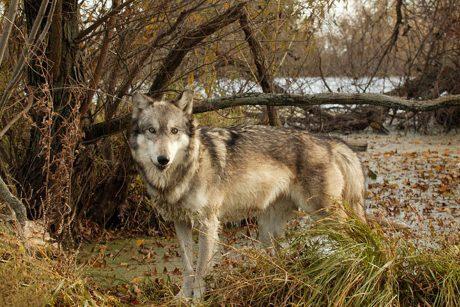 Ūkininkai ir medžiotojai sako, kad vilkų medžioklės kvota yra per maža