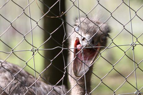 Lietuvos zoologijos sodas į gamtą paleidžia raudonpilves kūmutes ir balinius vėžlius