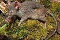 Nauja žiurkių rūšis negali nei graužti, nei kramtyti