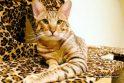 Laukinės išvaizdos naminės katės – jau ir Lietuvoje