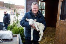Sukilo prieš prakartėlę su avimis